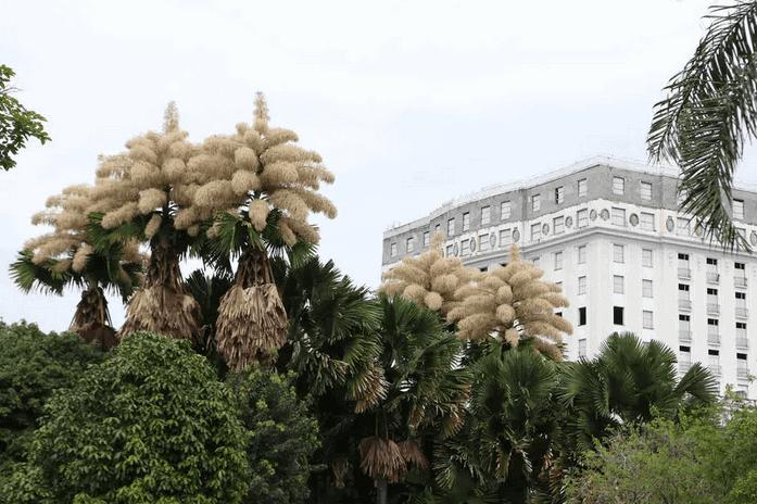 Palmeiras plantadas na década de 1960 no Rio dão flores pela 1ª vez